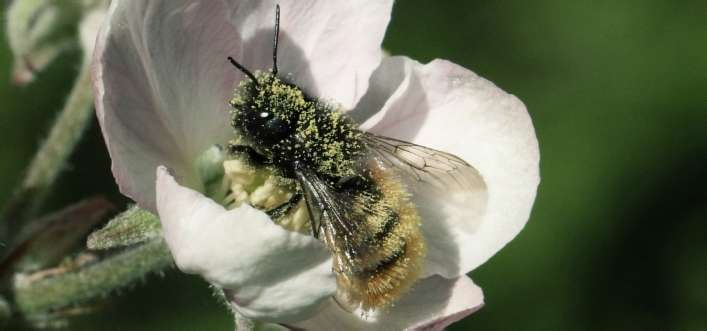 Wildbienen in München