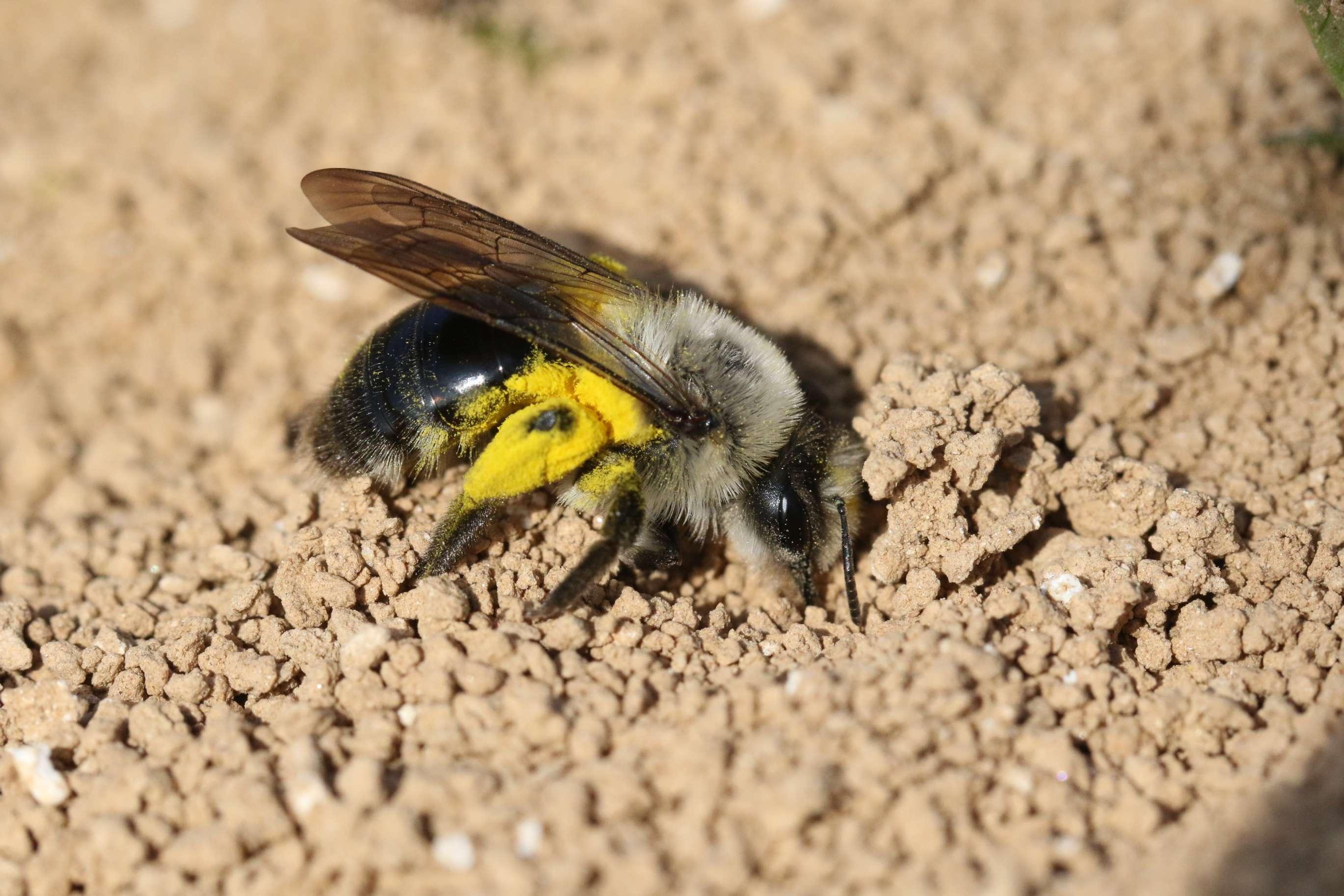 Wildbienenschutz im Garten Wildbienen