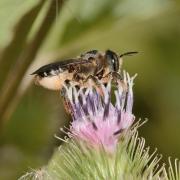 Megachile centoncularis